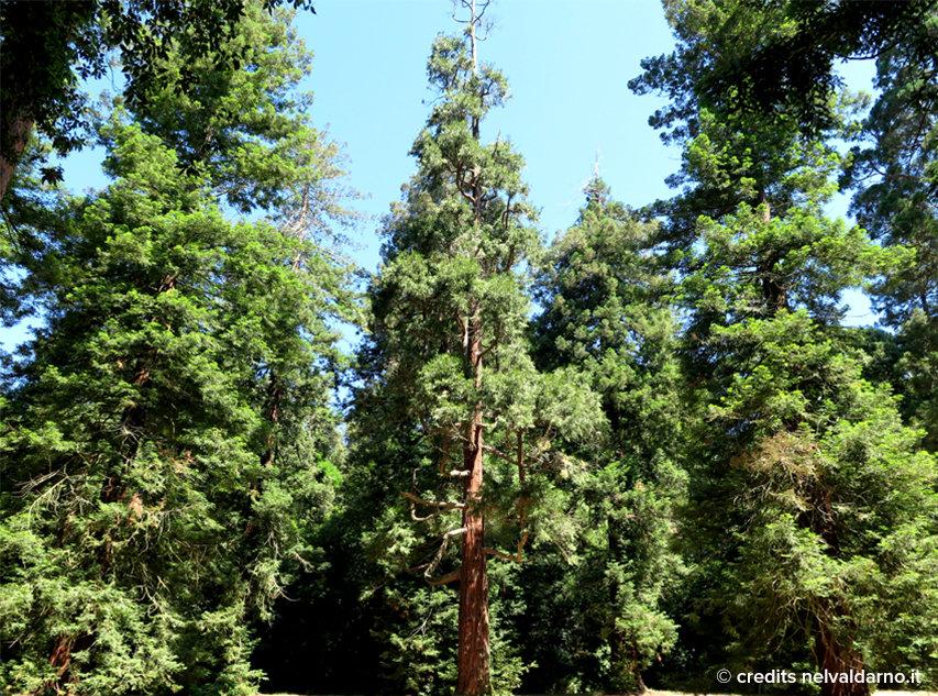 Le sequoie del parco del Castello di Sammezzano