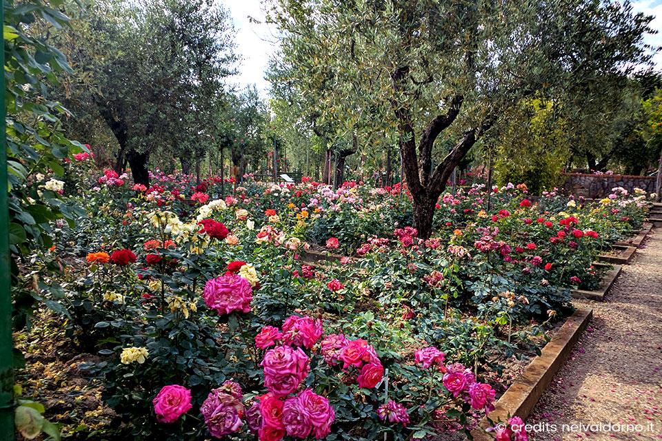 Rose-e-olivi-al-roseto-fineschi-Valdarno
